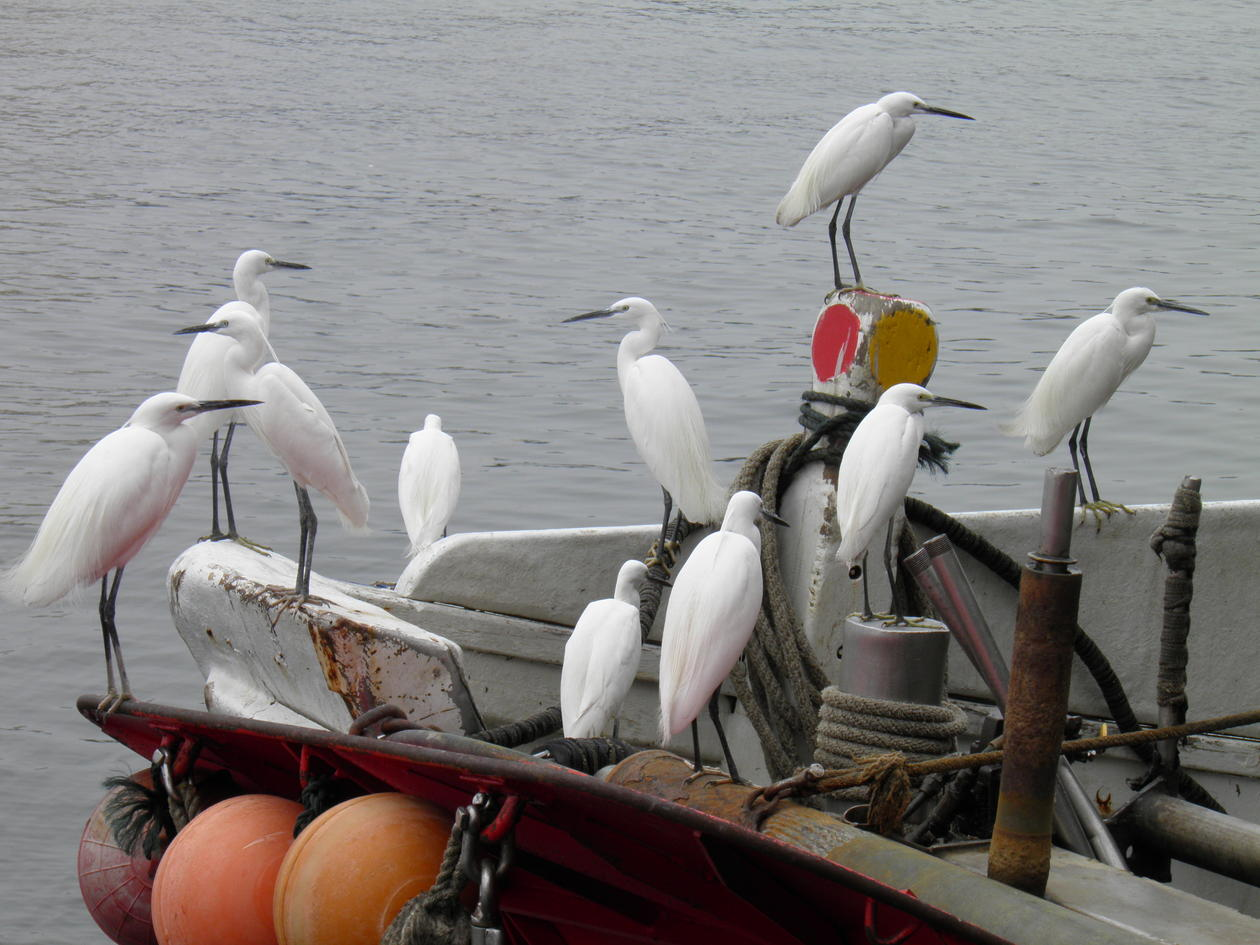 Little egrets standing on the back of a fishing boat