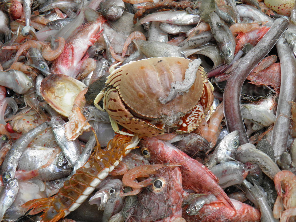 Mixed bottom trawl catch with a box crab on the top