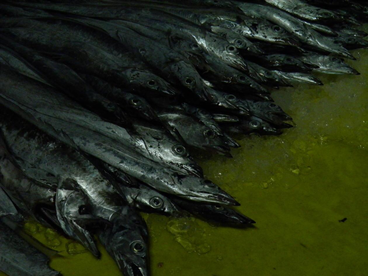 Cutlassfish on the floor of a fish landing site