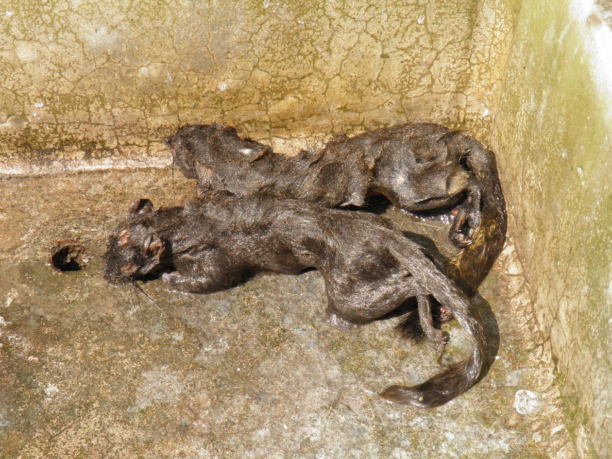 Two dead and wet squirrels in a washing basin