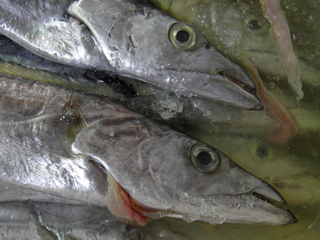 Heads of two hairtail fish