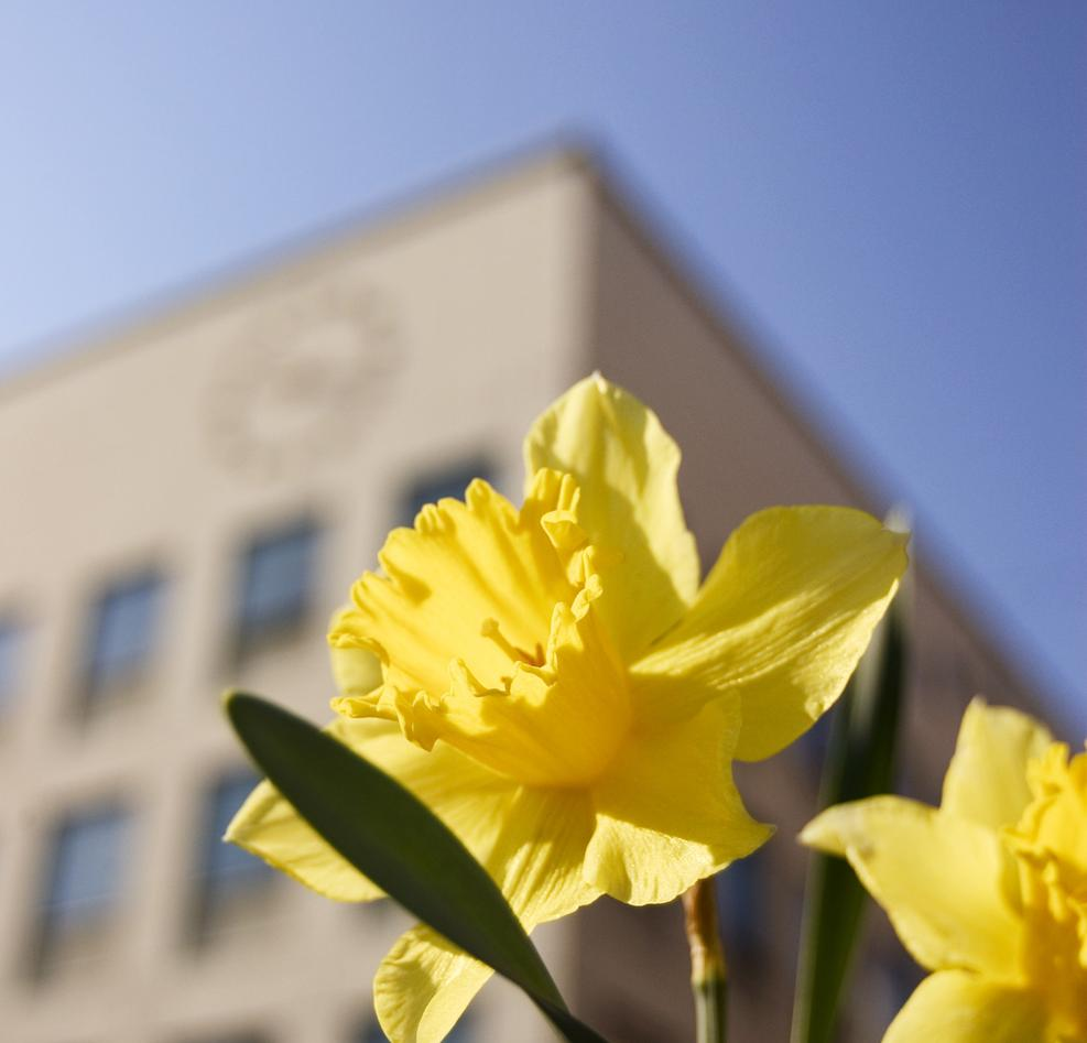 Daffodils at the Faculty of Psychology