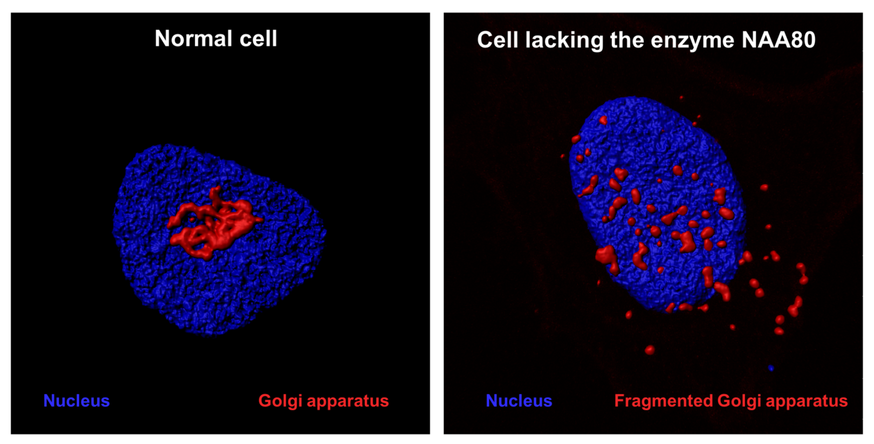 NAA80 acetylates actin and is essential for normal Golgi structure