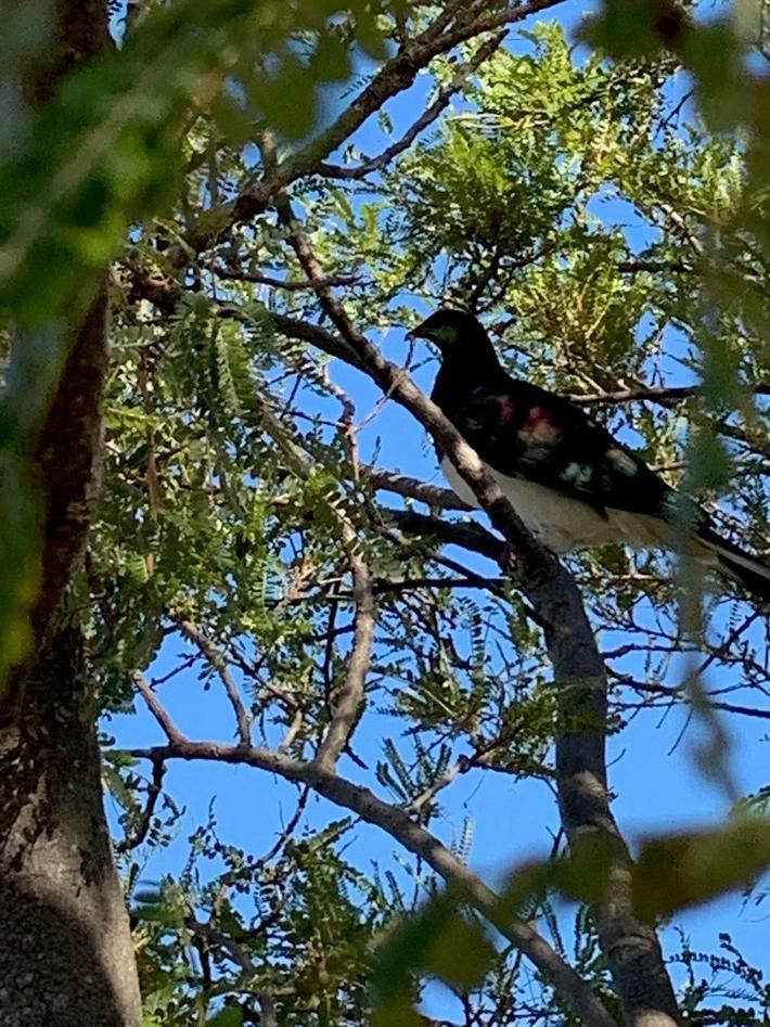 Pigdeon in tree