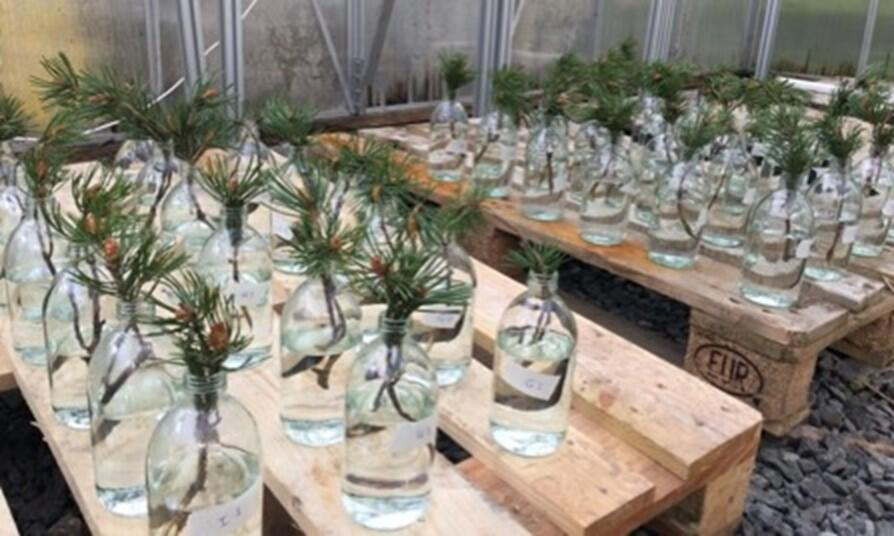 Rows of bottles with pine cuttings on a bench in a greenhouse