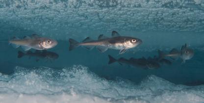 Polar cod under the Arctic ice cap