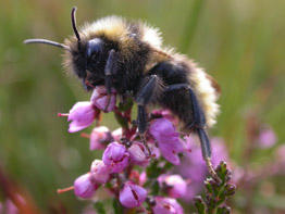 A bee on some heather flowers