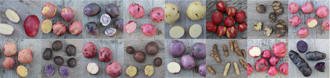 Utvalgte potetsorter fra Botanisk hage