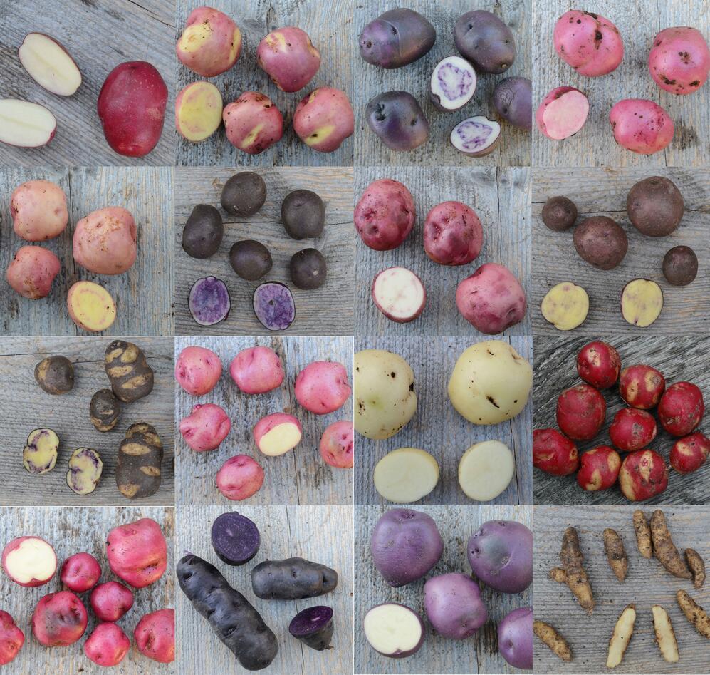Potetsorter i Botanisk hage