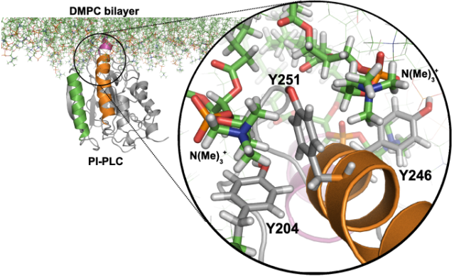 Cation-pi interactions between PI-PLC Tyrosines and PC lipids