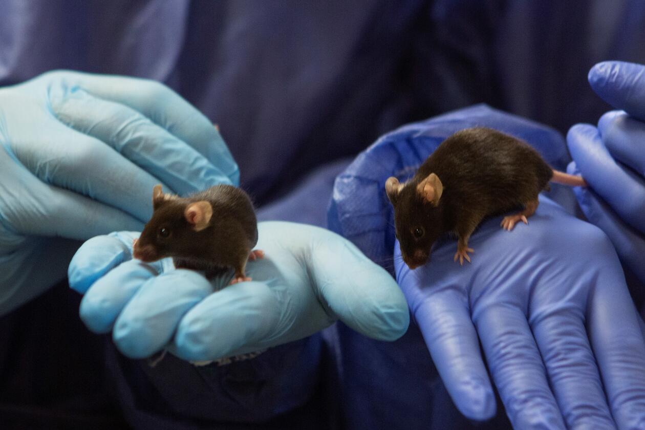 Bilde av to mus i musemodellen holdt av to personer med blå hansker