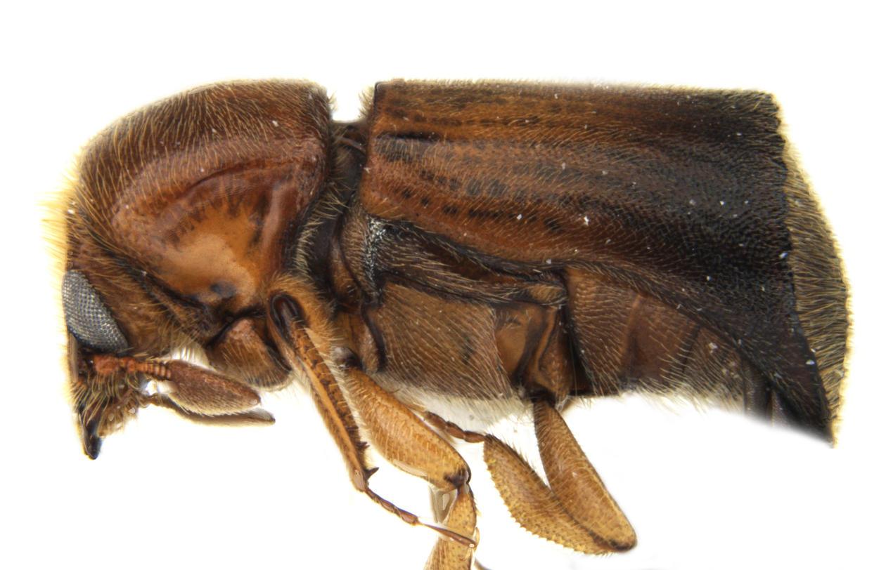 Barkbille i slekten Remansus sett fra siden