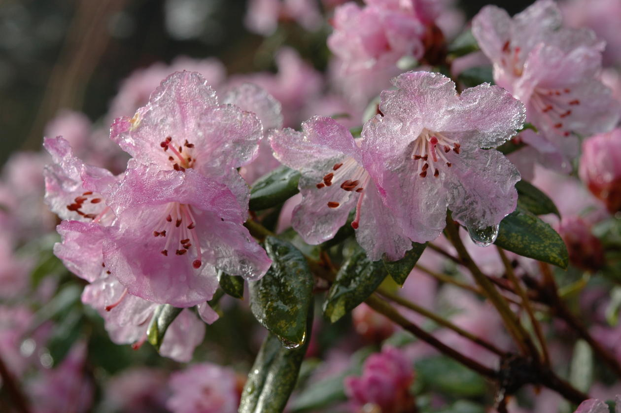 Rhododendron 'February Dawn'