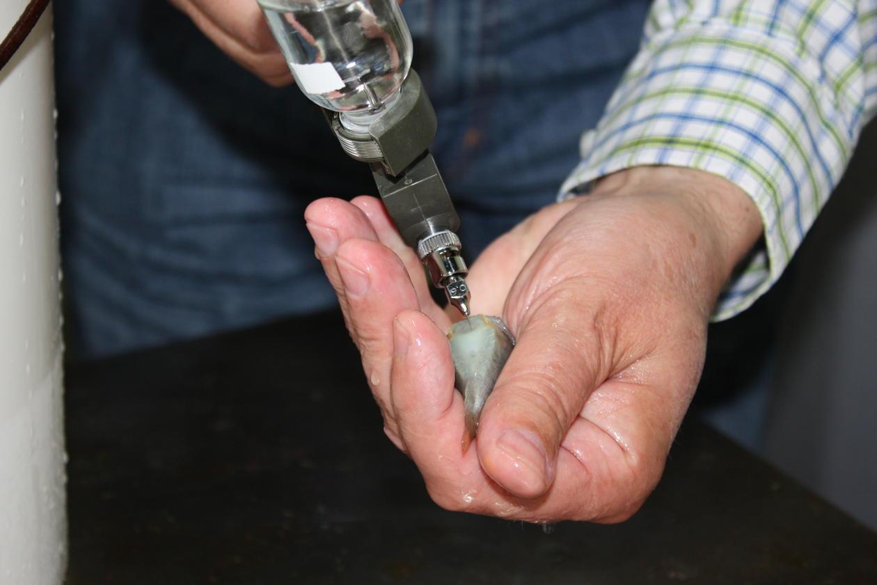 Nærbilde av forsker som vaksinerer en liten rognkjeks
