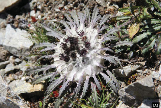 Photo of the plant Saussurea ramchaudharyi