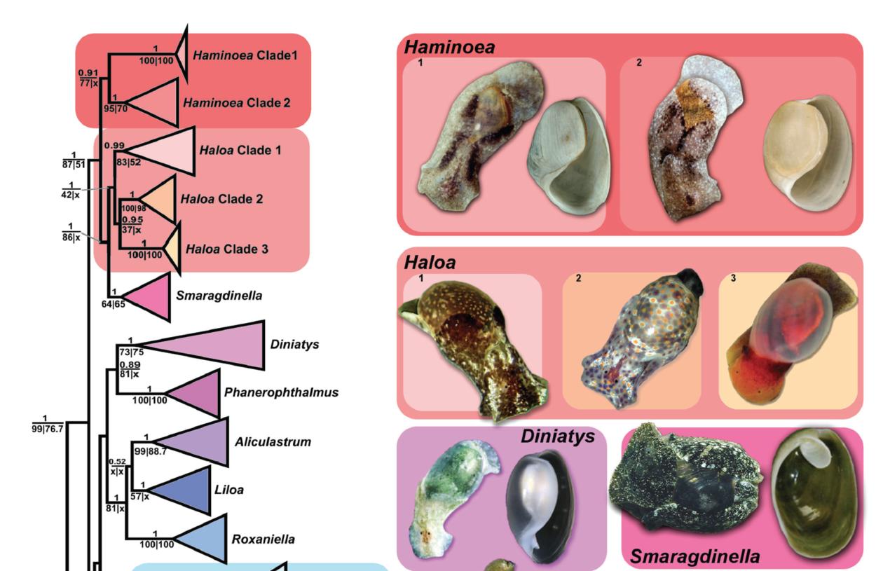 Systematics of Haminoeidae