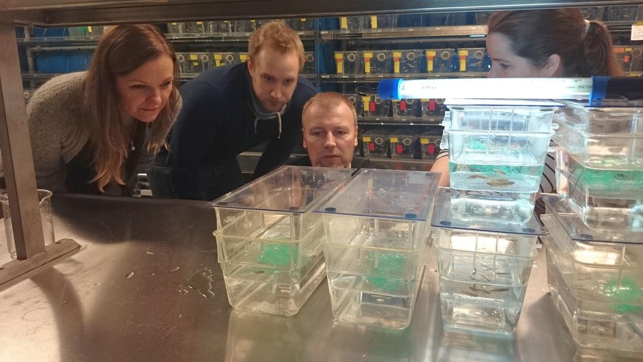 Lærere ser på små plastbokser med nylagte sebrafiskegg.