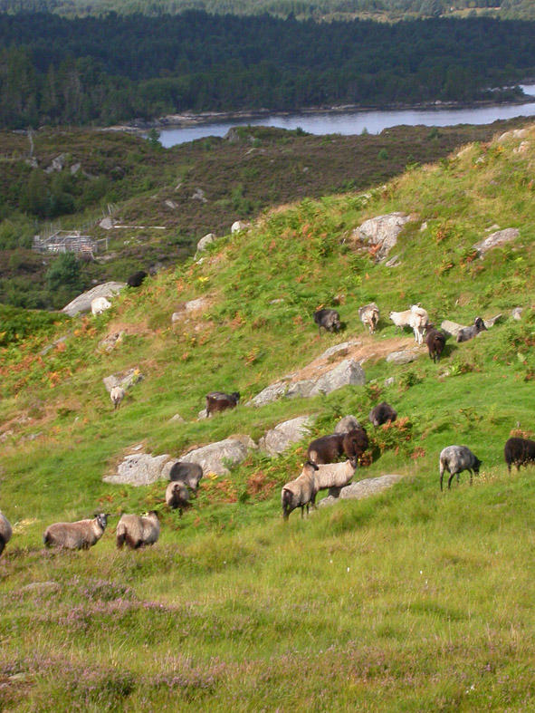 About 20 sheep grazing a small hillside in western Norway
