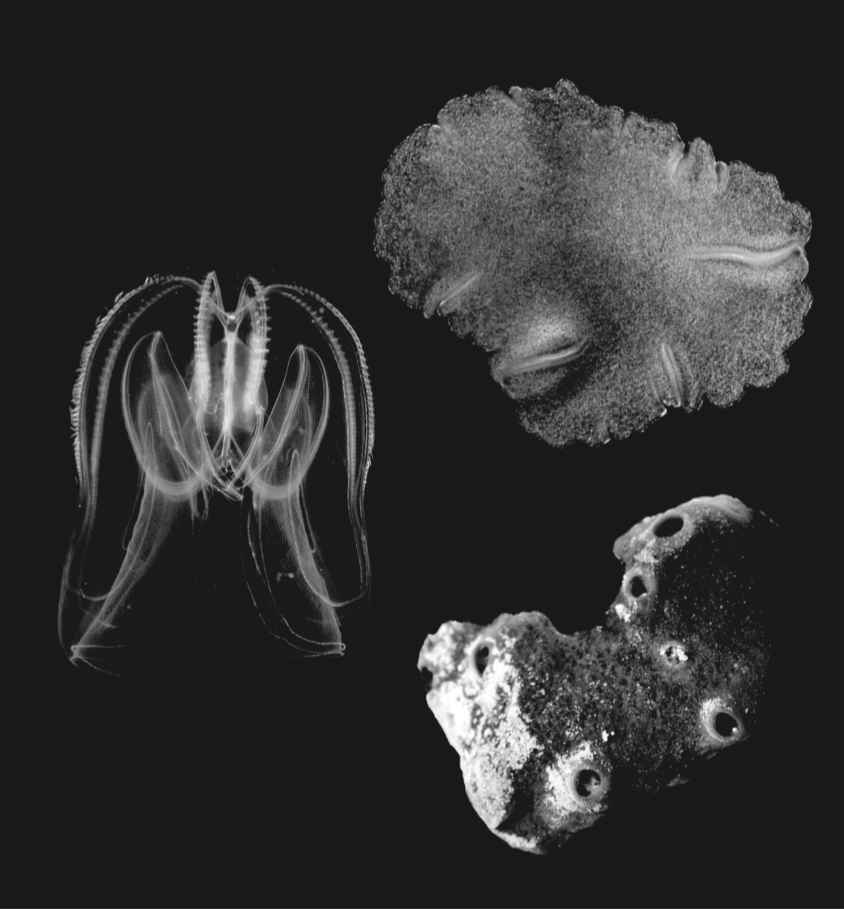 Trichoplax adhaerens (credit Mansi Srivastava), 17.00: Sponge Amphimedon queenslandica (credit: Bernie Degnan), and 21.00: comb jelly Mnemiopsis credit: Kevin Pang.