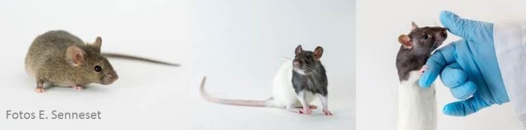 Mus og rotter
