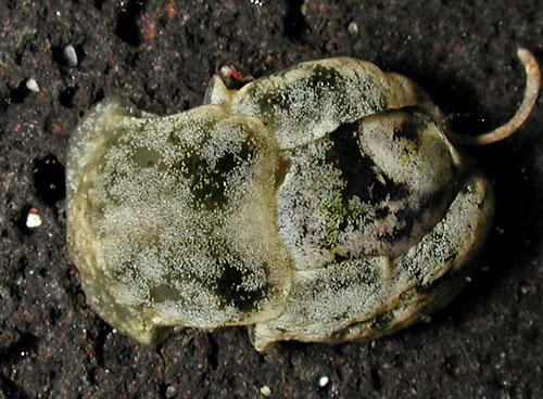 smaragdinella-calyculata-a12e.jpg