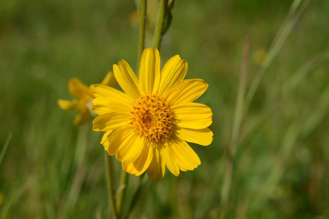 Solblom (Arnica montana) er en viktig medisinplante.