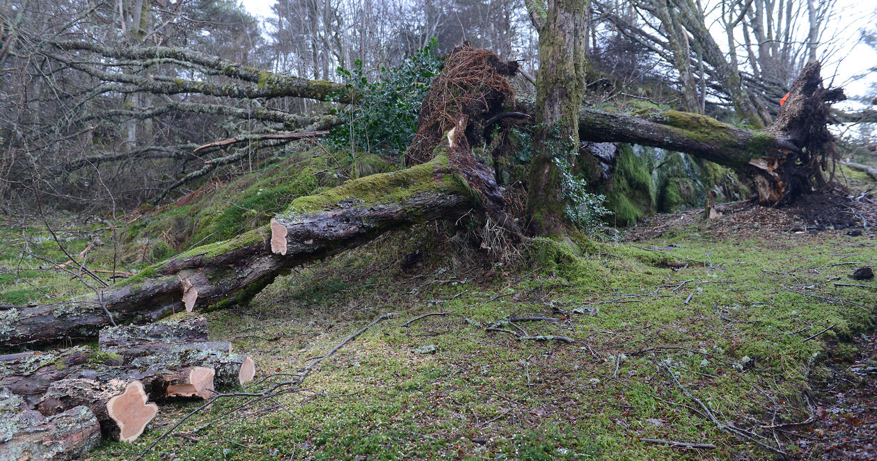 Big Nothofagus trees tipped over in the storm.