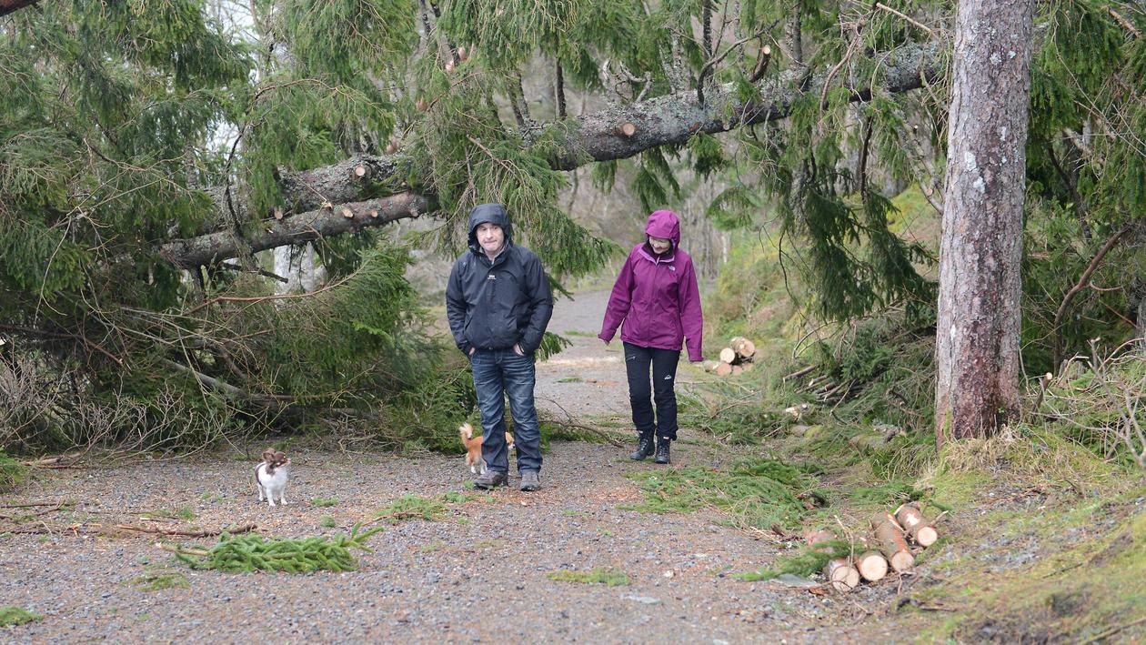Large spruce blocking the walking path to Dalsmyra.