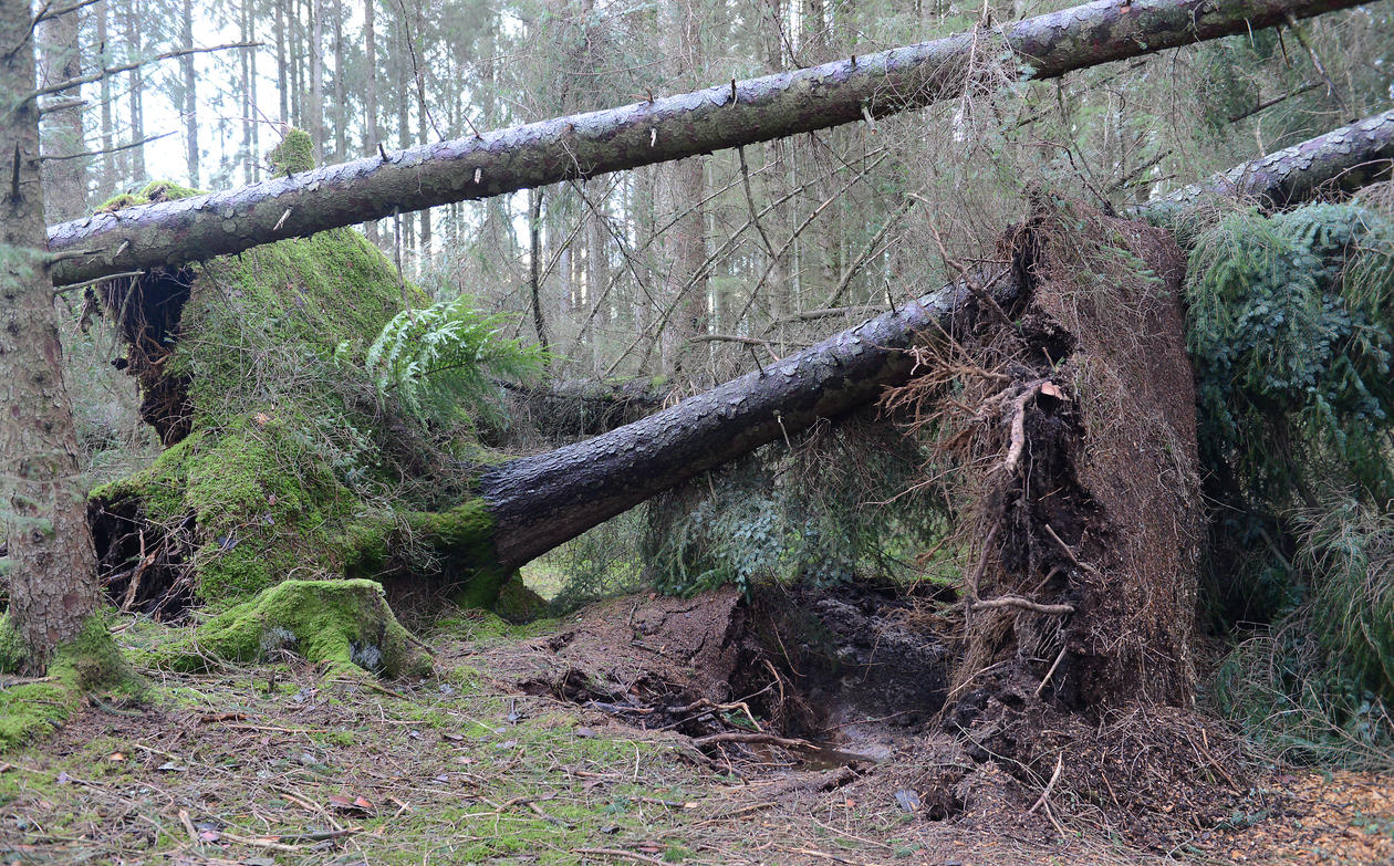 Sitka spruce with 40 m hig trunks overturned at Mørkevågen.