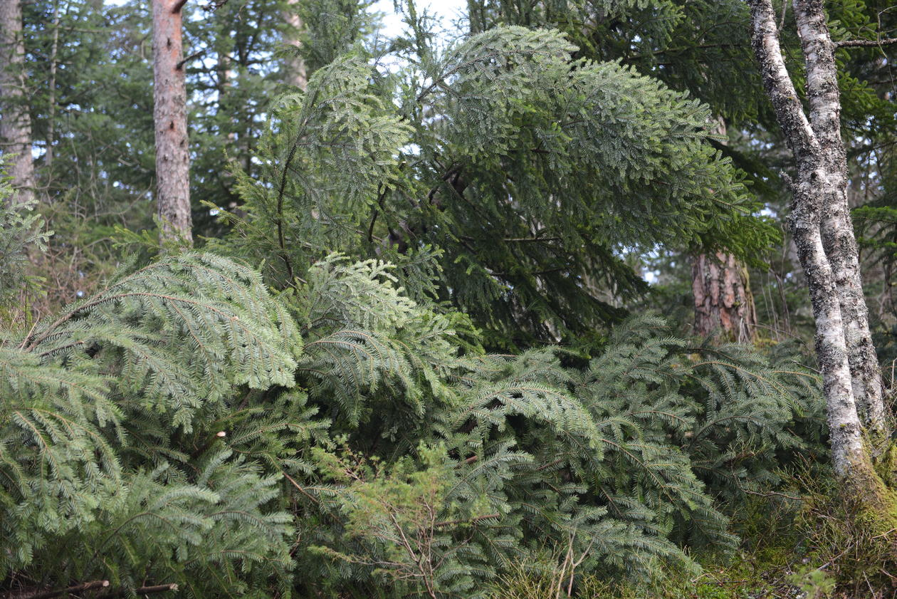 Abies normanniana was knocked down in the storm.