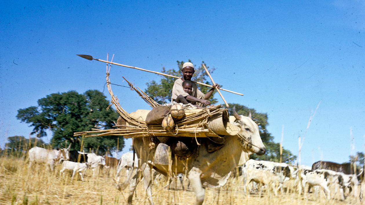 Sudanesisk mann med langt spyd over skuldra og eit lite barn rir på ei okse. Fleire kyr i bakgrunnen.