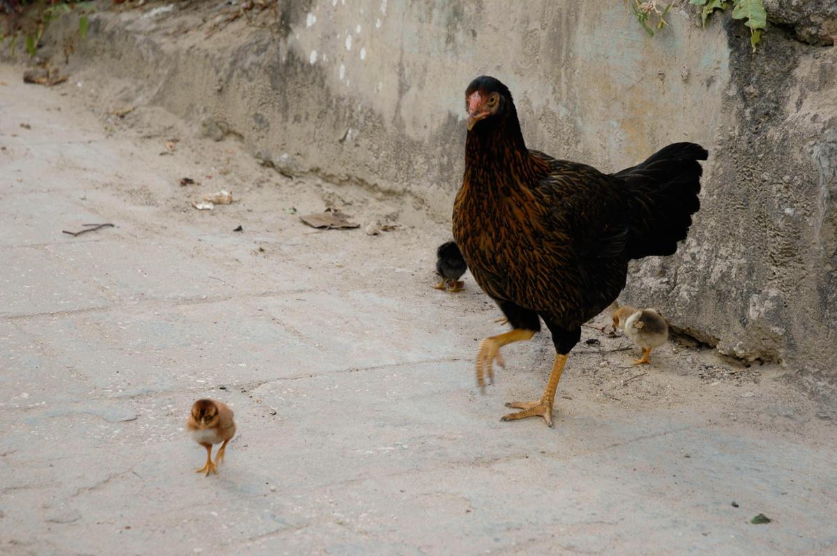 Høne Tanzania