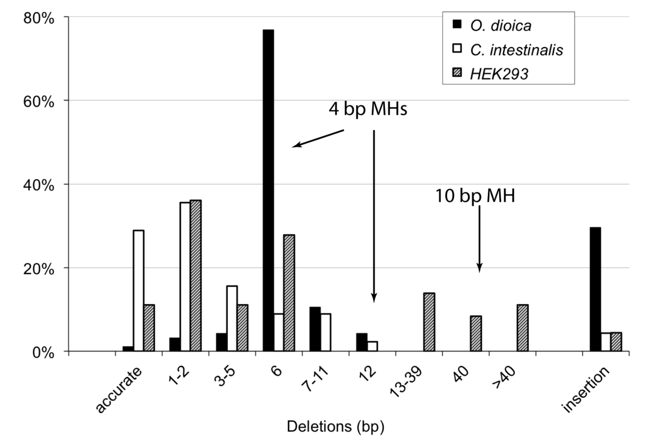 This graph shows that in Oikopleura dioica, end joining of linear DNA fragments leads to deletions larger than in ascidians and human