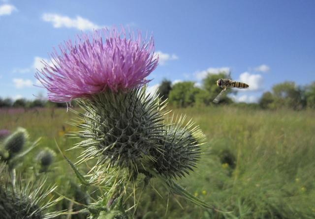 A hoverfly homing in on a purple thistle flower