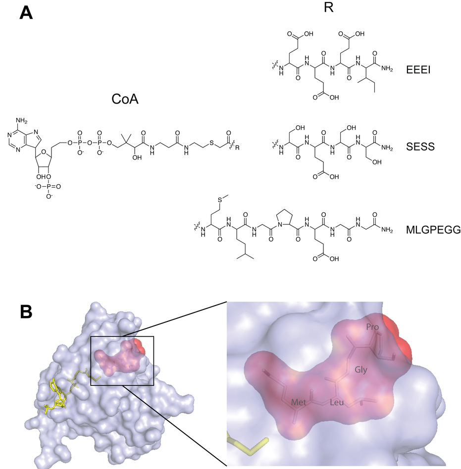 Bisubstrate analogues specifically inhibit the different NAT-enzymes