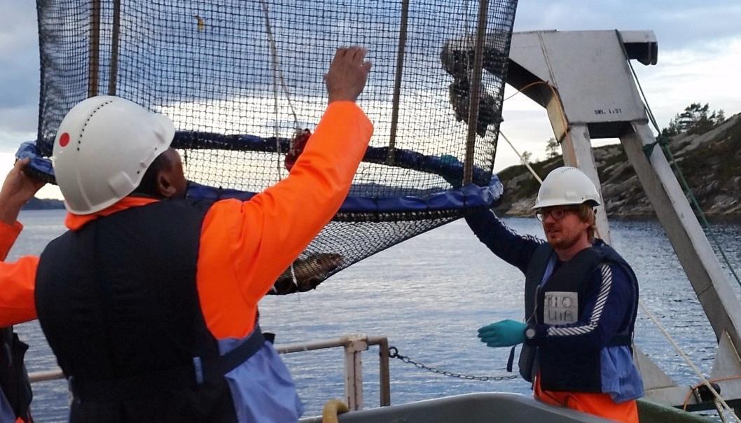 Då forskarane sette torsk i bur på sjøbotnen ved ei tidlegare søppelfylling, vart fisken tydeleg påverka av miljøgifter. Berre seks veker var nok til å skape endringar i hormonnivå og genar knytte til reproduksjon. Her vert bura henta opp frå sjøen.