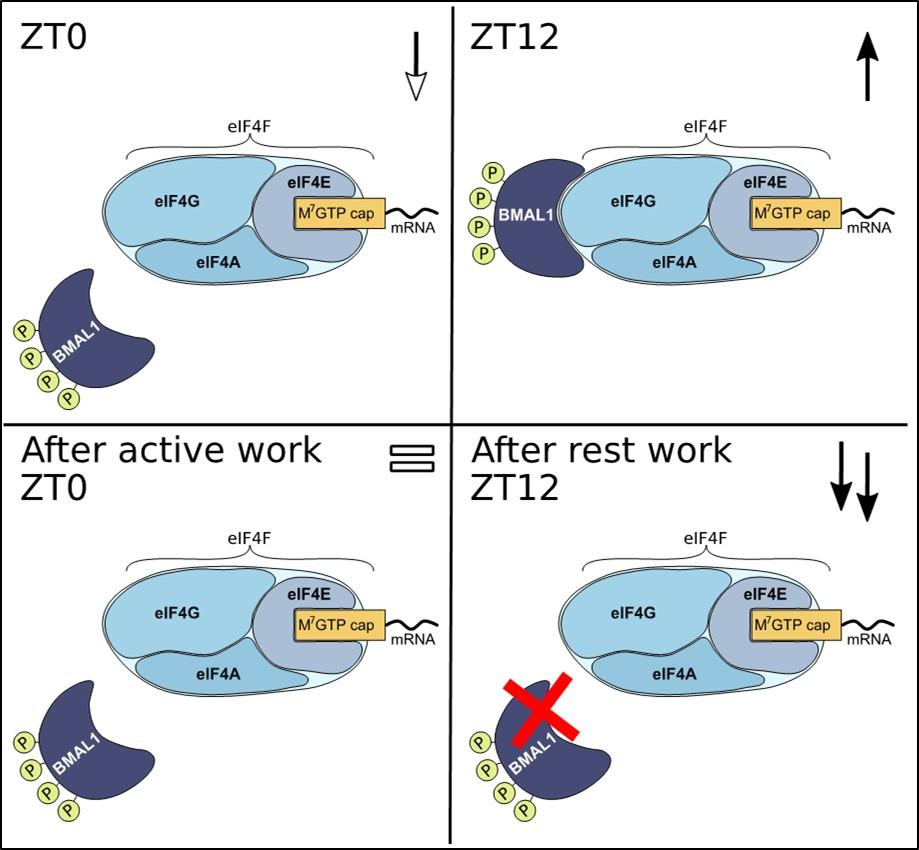 Figur fra artikkel  med regulering av proteinsyntese