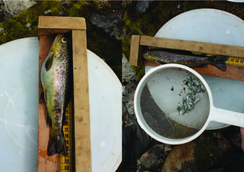 A trout with full stomach, and the same animal after emptying its stomach