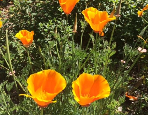 Poppies blossoming.