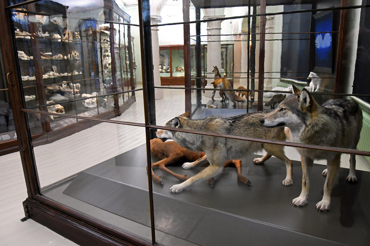 Wolves at the Natural History Museum