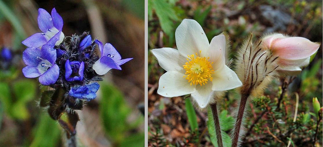 Veronica alpina and Pulsatilla vernalis