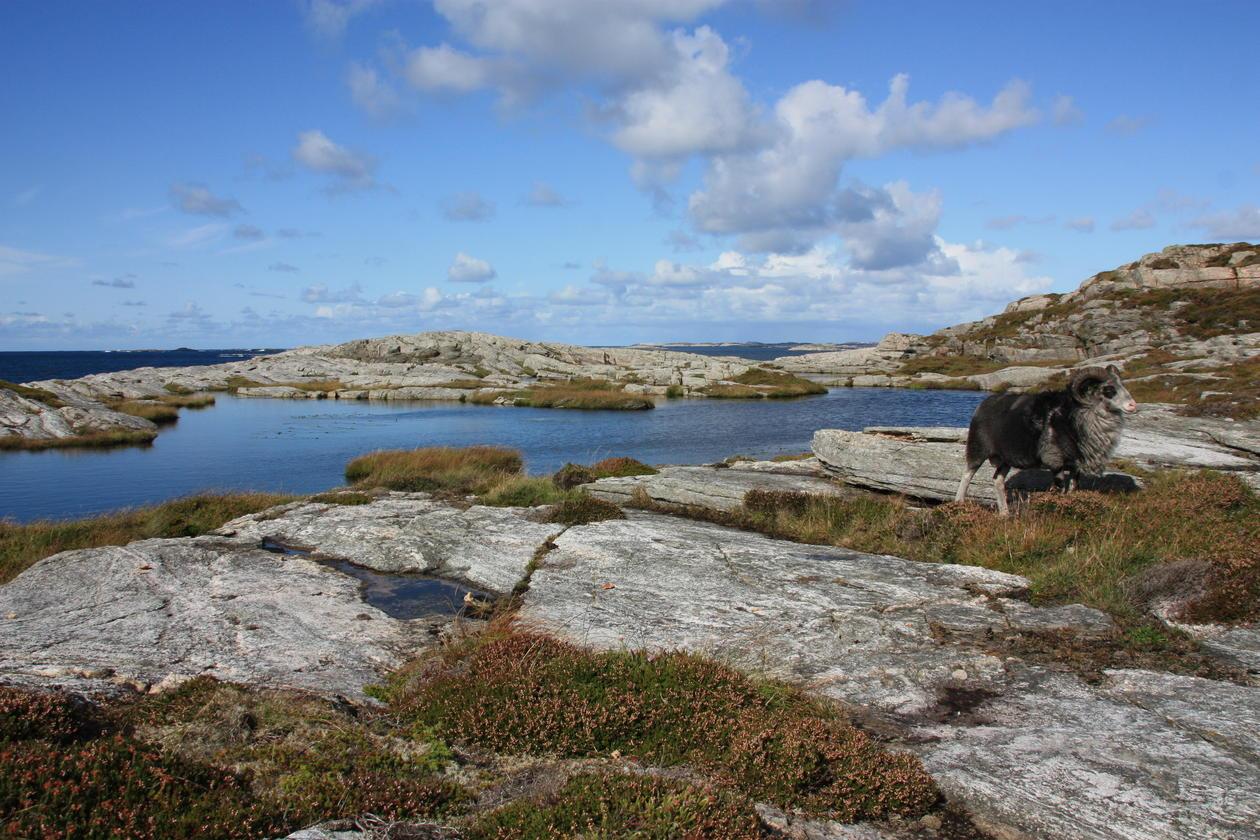 Photo: Old Norwegian sheep in Øygarden