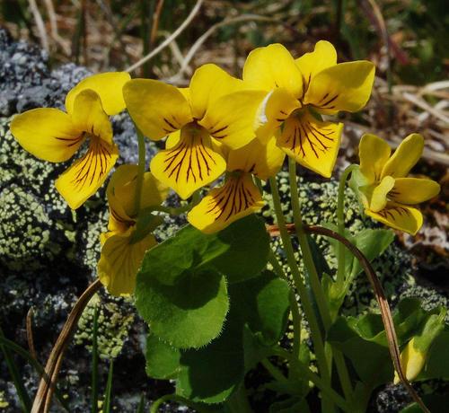 Yellow-flowered violet - Viola biflora