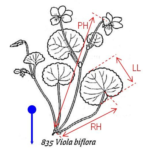 Drawing of Viola biflora (two-flowered violet) indicating typical measurements made