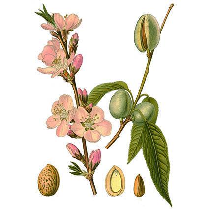 Prunus amygdalus fra Köhler, F.E., Medizinal Pflanzen, vol. 2 (1890).