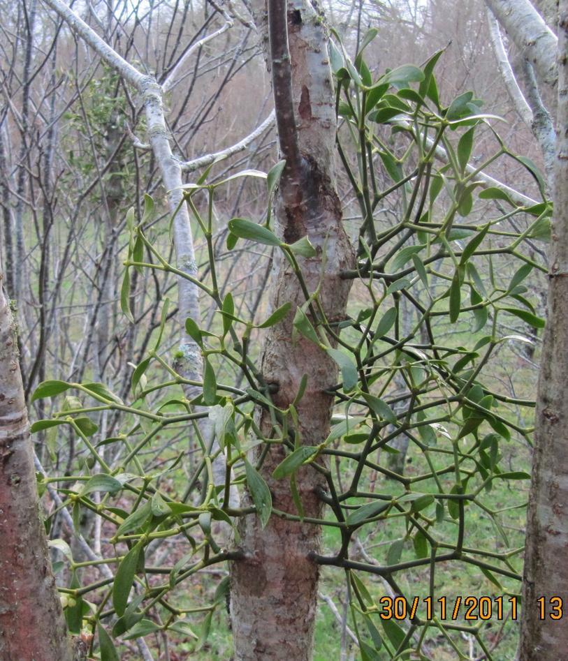 Well-established mistletoes 3 m up in the rowan tree.