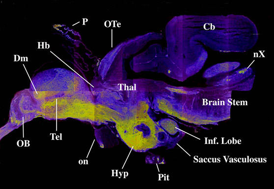 Pseudocolour image of a smolt brain. The yellow shows areas of high GAP-43...