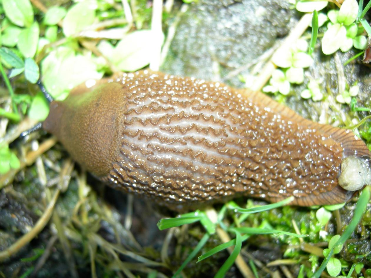 The invasive brown slug, Arion vulgaris