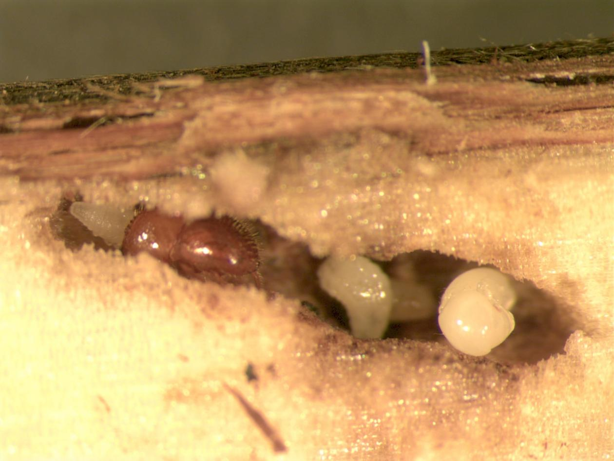 A bark-beetle inside some wood