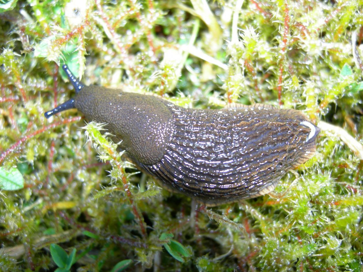 Iberian slug - Arion lusitanicus